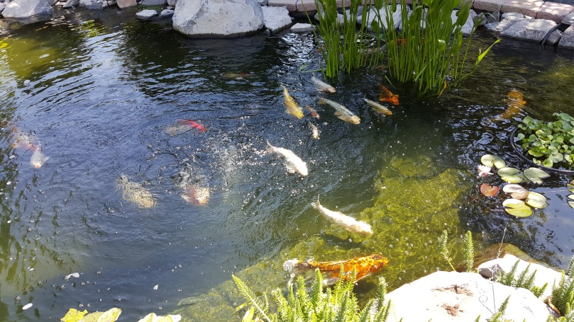 20160702_113801-Aunt-Bs-Koi-Pond-Wide-by-Steph-Abbott